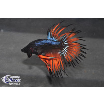 Betta CT Black Orchid  3.5-4