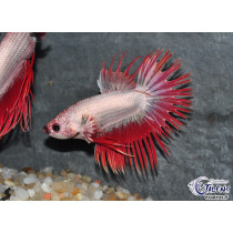 Betta Crown Tail Platinum Red  6+