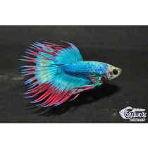 Betta Crown Tail Bicolor/Tricolor 5-6