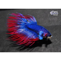 Betta Crown Tail Thai Flag Gr. AAA 5-6