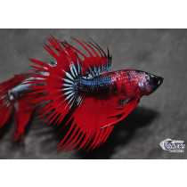 Betta Crown Tail Top Select. 5-6