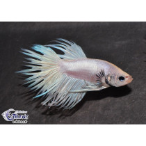 Betta Crown Tail White  5-6