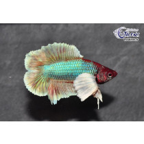 Betta Dumbo DbleTail Select. 4-5 NOUVEAU