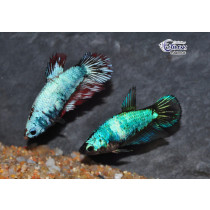 Betta Femelle Plakat Select. 3.5-4