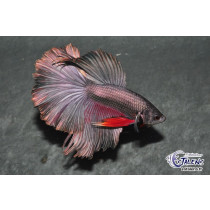 Betta HM Copper Mustard 5-6