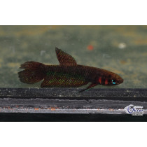 Betta hendra 3-3.5 Svg