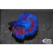 Betta HM Blue Mask/White Butterfly 5-6