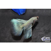 Betta HM Dragon White 5-6