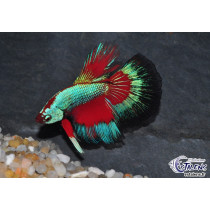 Betta HM Blue Red Butterfly 5-6