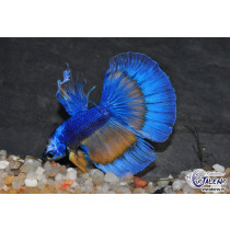 Betta HM Marble Butterfly 5-6
