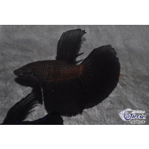 Betta HM Black Orchid Butterfly 5-6