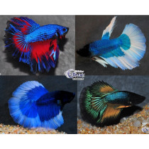 Betta Halfmoon Butterfly/Super Select.Assort. 5-6