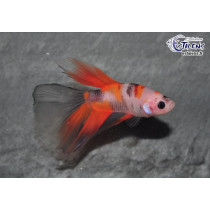 Betta HM GIANT Candy Galaxy 5-6 SUPERBE