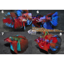 Betta HM Candy Galaxy 5-6 WYSIWYG