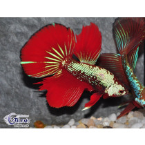 Betta HM Dragon Blue Red 5-6