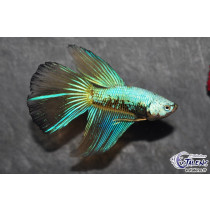 Betta HM Dragon Mustard 5-6