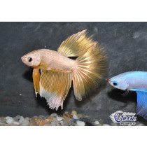 Betta HM Dragon Gold 5-6