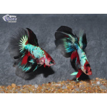 Betta HM Dragon Koï 5-6