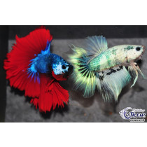 Betta HM Dragon Tricolor Marble 5-6