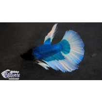 Betta HM Green/White Butterfly 5-6 SUPERBE