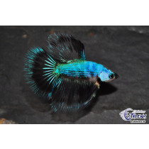 Betta HM Black Butterfly 5-6