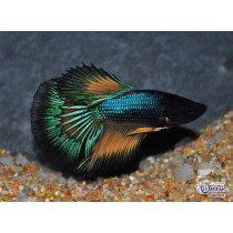 Betta HM Mustard Gas Butterfly 5-6
