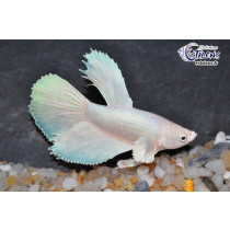 Betta HM Pure White Opaque 5-6