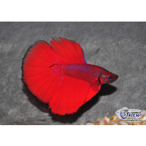 Betta HM Rouge 5-6