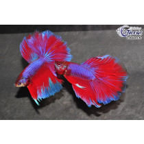 Betta HM Salamander 5-6