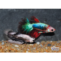 Betta Halfmoon Black Dragon Samuraï 5-6