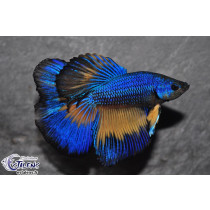 Betta HM Mustard Marble Butterfly 5-6 TOP