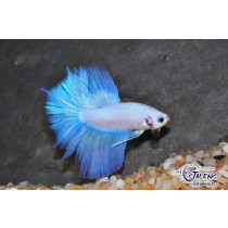 Betta HM Double Tail White Opaque 5-6