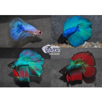 Betta Halfmoon  DbleTail Assortis  4-5