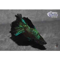 Betta HM DbleTail Black Orchid 5-6