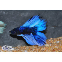 Betta HM DbleTail Black Orchid Butterfly 4-5