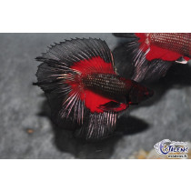 Betta HM DbleTail Devil Butterfly 4-5 SUPERBE