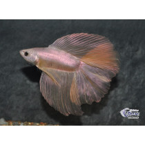 Betta HM DbleTail Dragon Gold 4-5