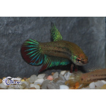 Betta imbellis 3-4+