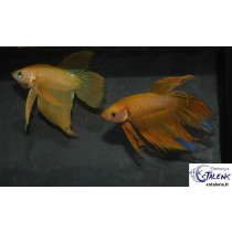 Betta splendens Jaune  5-6