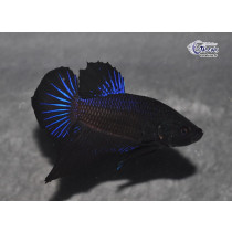 Betta Plakat Royal Blue Black Orchid 4-5