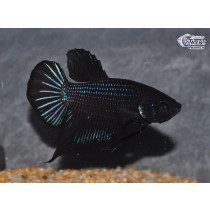 Betta Plakat Steel Blue Black Orchid 4-5