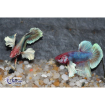 Betta Plakat Dumbo Select. 4-5