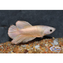 Betta Plakat Gold 4cm
