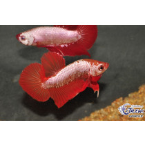 Betta Plakat Dragon Assort. 4-5