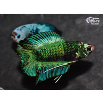 Betta Plakat DbleTail Fancy 4-5