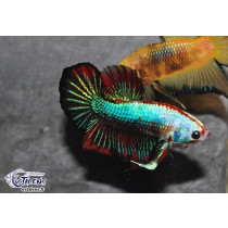 Betta Plakat Marble 4-5 SUPER