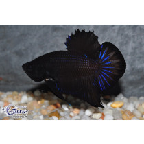 Betta Plakat Black 4-5