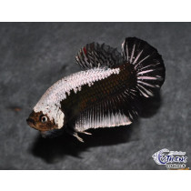 Betta Plakat Black Samurai 4cm