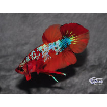 Betta Plakat Candy Koï Galaxy 4-5 SUPERBE