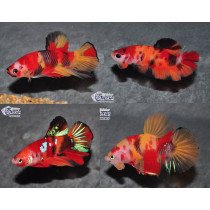Betta Plakat Candy Koï 4-5 (en couple)